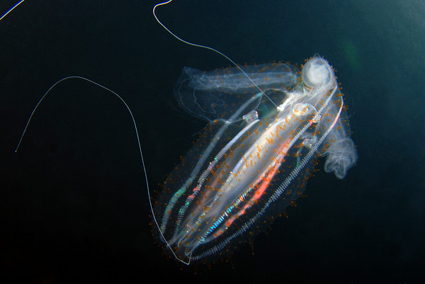 comb jelly underwater photo
