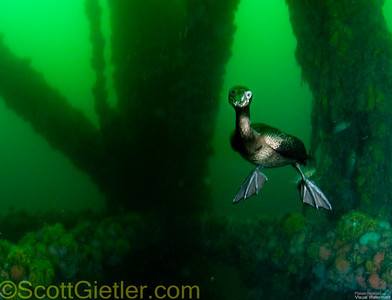 Cormorant diving underwater for fish