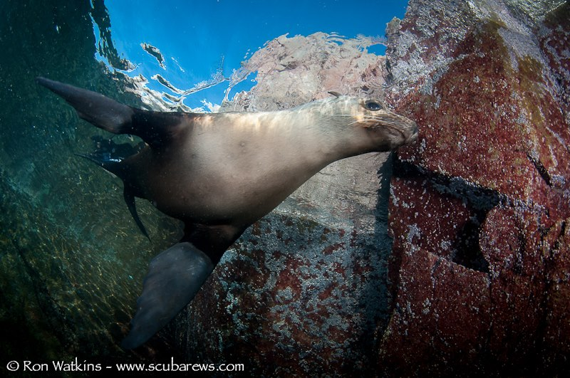 Sea of Cortez Sea Lion underwater photography