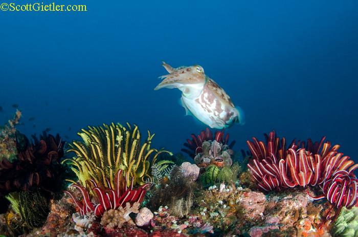 cuttlefish at gilla tepekong, bali