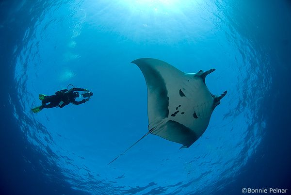 manta ray and diver, socorro island
