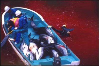 dolphin slaugher in japan