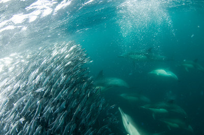 dolphins feeding underwater, california marine life