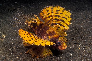 yellow shortfin lionfish