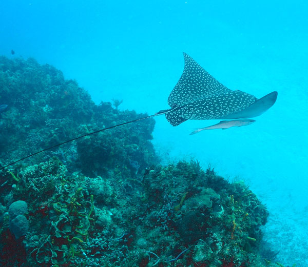 eagle ray, diving cozumel