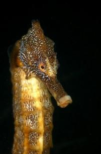 eric hanauer's seahorse