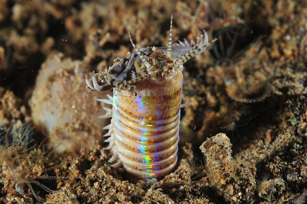 anilao bobbit worm
