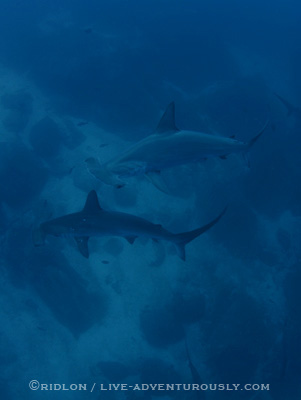 hammerhead sharks at cocos island