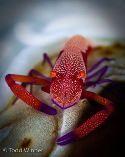 fiji macro underwater photography - imperial shrimp