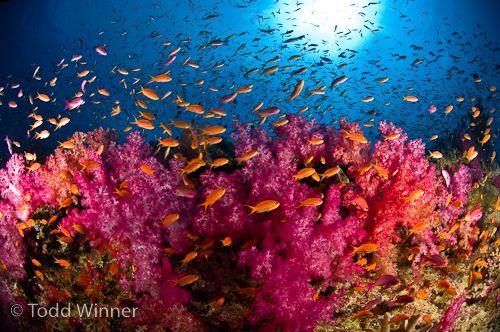 fiji soft coral