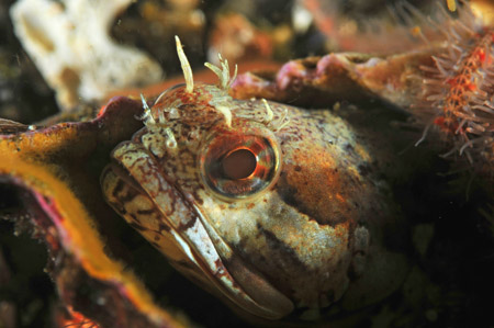 sarcastic fringehead underwater photography
