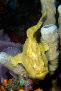 frogfish, lembeh