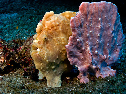 frogfish camouflaged like a sponge