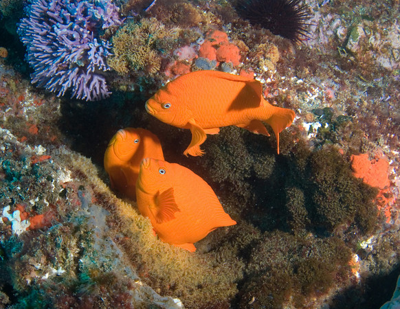 garibaldis fertilizing eggs