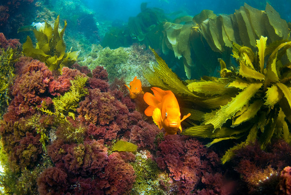 garibaldi and red algae, shallow at the casino point dive park, catalina island