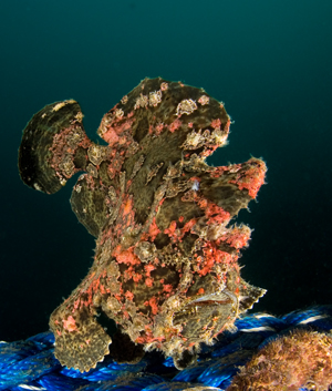 giant frogfish, Antennarius commersoni