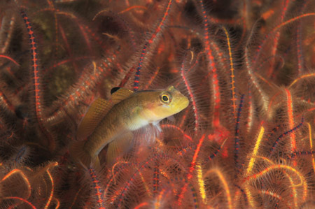 goby in brittle stars with strobe lighting