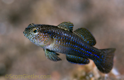 blue-spotted goby