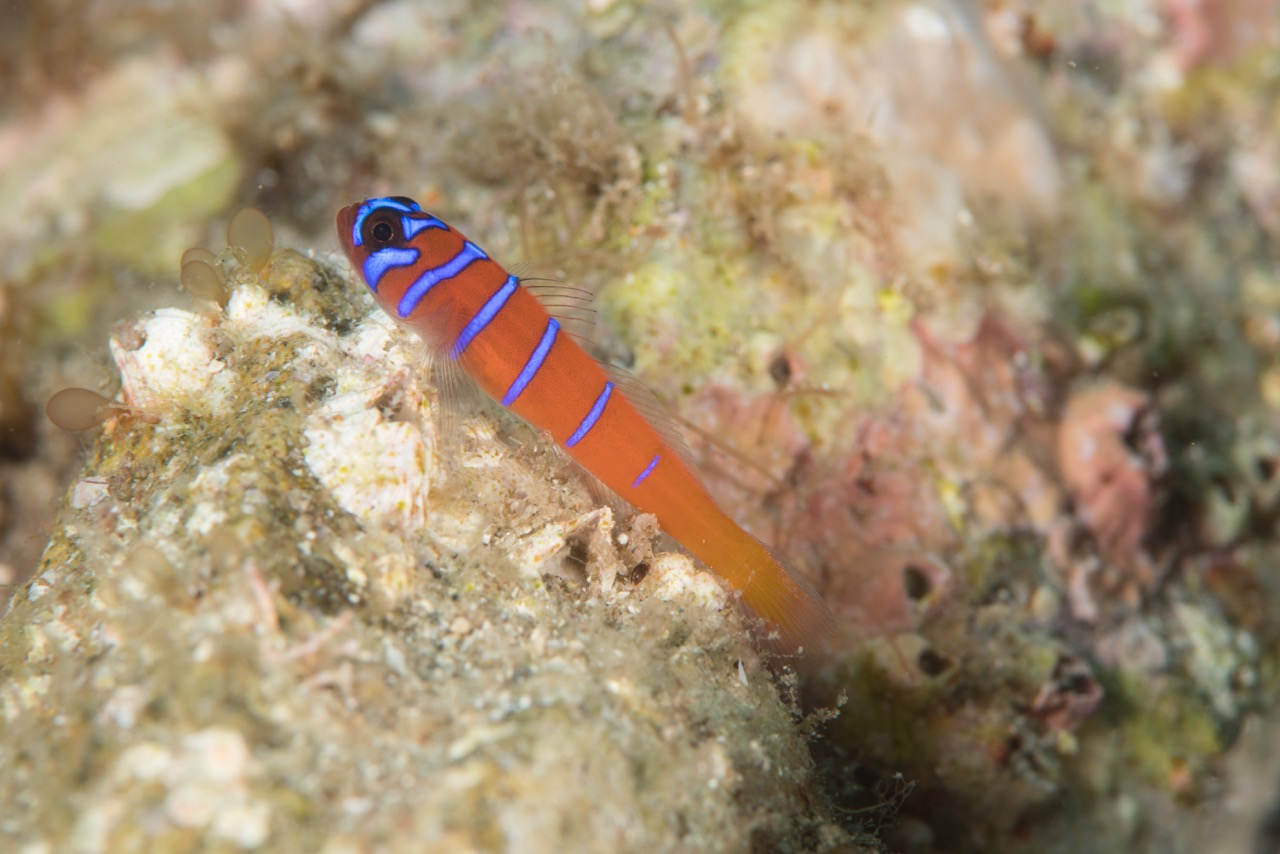 Goby Underwater Photo