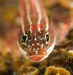 goby underwater, aperture example