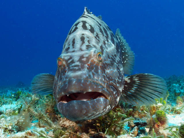 large grouper seen while diving cozumel