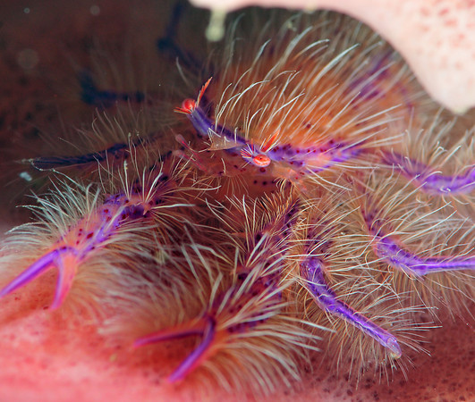 hairy squat lobster, anilao,