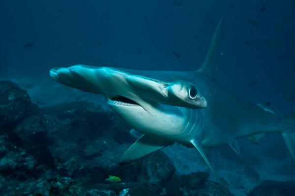 hammerhead shark portrait