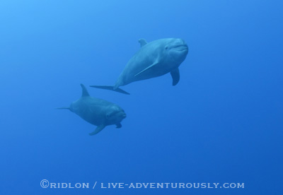 dolphins at cocos - dive travel at the right time