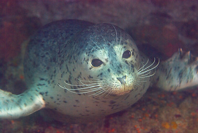 Harbor seal underwater photo