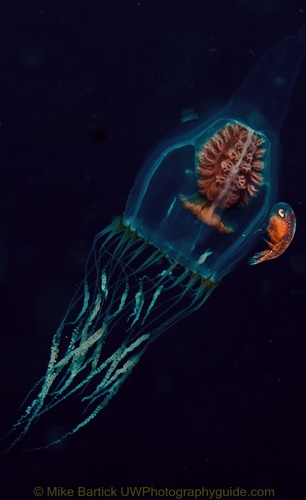 jellyfish wiith amphipod underwater
