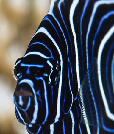 juvenile emporer angelfish, seraya, bali