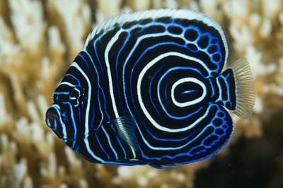 juvenile emporer angelfish
