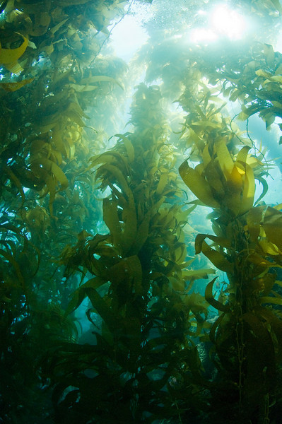 giant kelp at catalina island