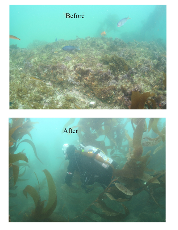 Kelp Restoration Before