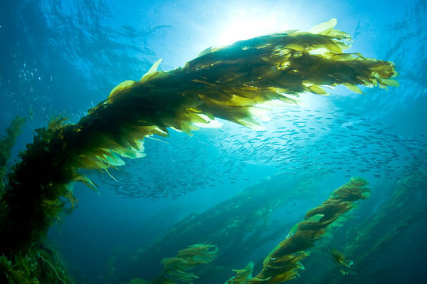 baitball and kelp, sunball, catalina island