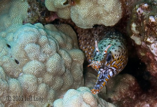 dragon moray eel at Kona