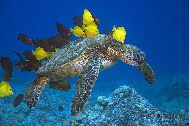 kona_sea_turtle.jpg#kona%20hawaii