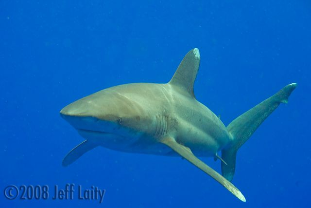 kona whitetip shark