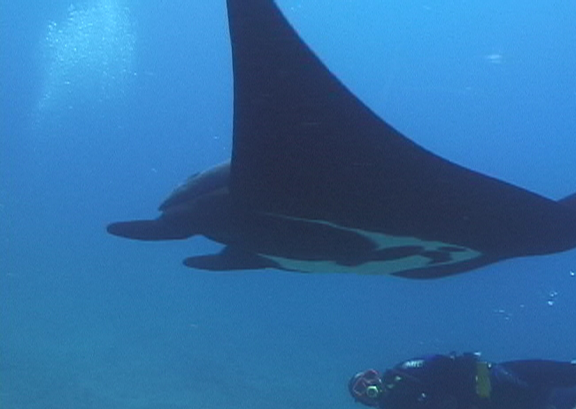 la paz, baja underwater photography, manta ray