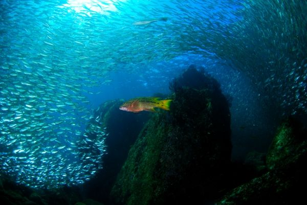 schooling fish underwater in the sea of cortez