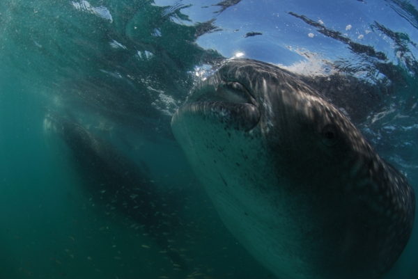 whale sharks in the sea of cortez