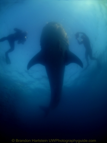 whale shark in la paz underwater photo
