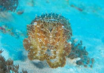 cuttlefish bali
