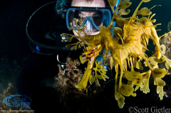 leafy sea dragon photo
