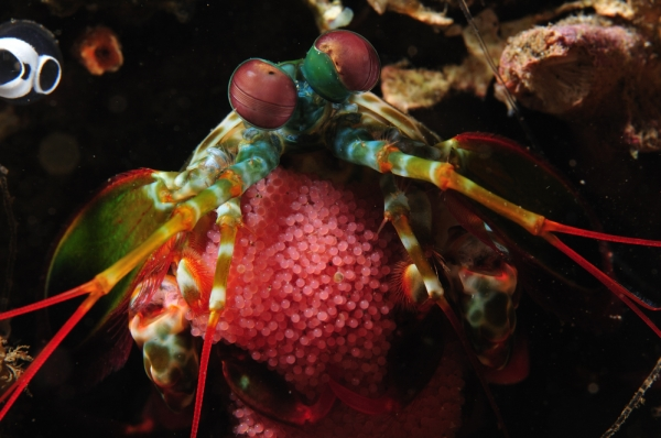 mantis shrimp in lembeh strait