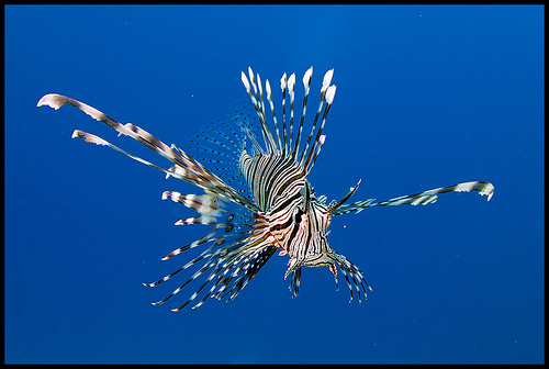 lionfish underwater photo, red sea