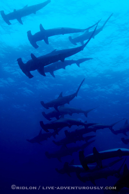 lots of hammerheads - cocos island underwater photography