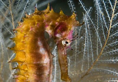 seahorse in bali, 60mm macro lens