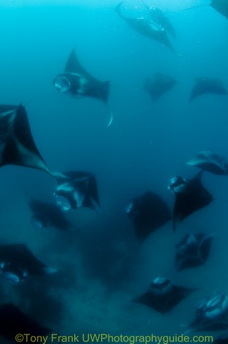 diving with manta rays in the maldives