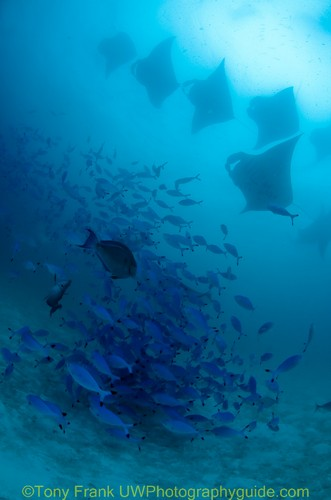 manta rays feeding underwater at Hanifaru bay, maldives